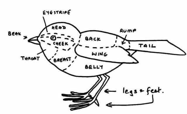 Describing a bird - From Bill Oddie's Little Black Bird Book