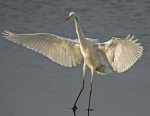 Great white egret - Egretta alba.jpg