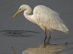 Great white egret - Egretta alba 2.jpg