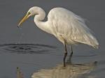 Great white egret - Egretta alba 2.jpg