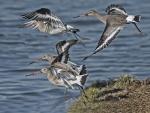 Black-tailed godwit - Limosa limosa.jpg