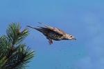 Mistle thrush