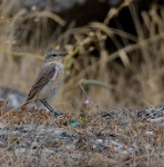 Young Wheatear.jpg