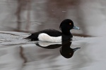 Drake tufted duck