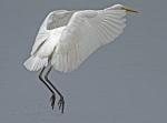 Great white egret - Egretta alba