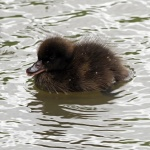 Tufted duck duckling